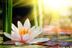 lotus_web